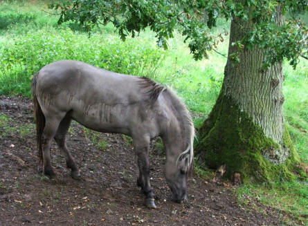 One of the wild horses at Domaine des Grottes de Han - Han-Sur-Lesse.