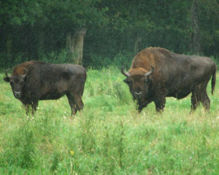 Some of the bison at Domaine des Grottes de Han - Han-Sur-Lesse.