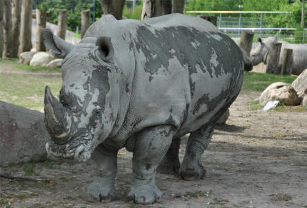 One of the large rhinos at the Copenhagen Zoo.