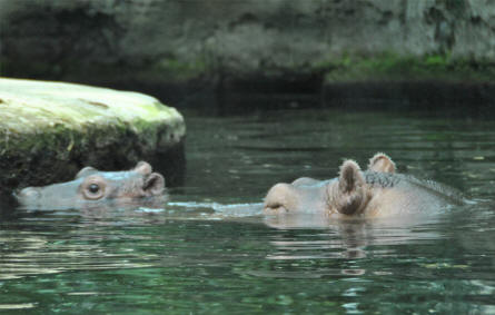A hippo and her cub is swimming at the Copenhagen Zoo.