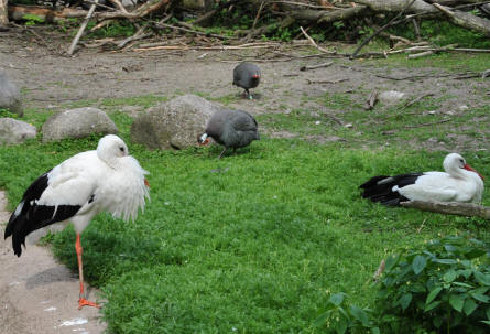Some of the storks and other birds at the Copenhagen Zoo.
