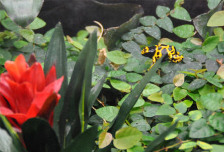 A small but very colourful frog at the tropical section of the Copenhagen Zoo.