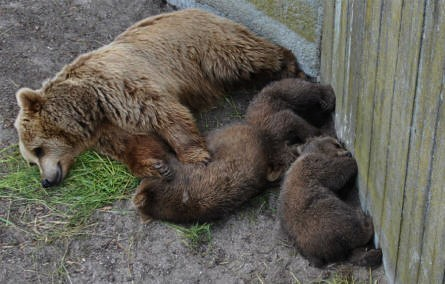A brown bears and her cubs at the Copenhagen Zoo.