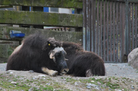 Two musk ox's at the Copenhagen Zoo.