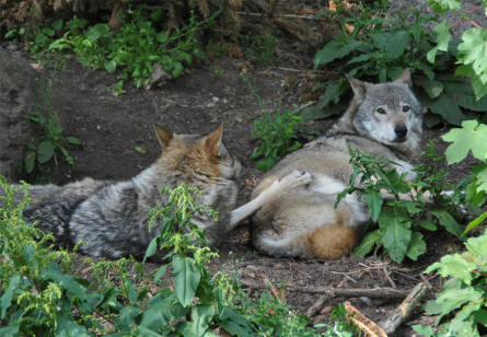 Two wolves at the Copenhagen Zoo.