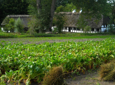 Crops (beets) are grown in the filed in front of one of the old farm houses displayed at the Funen Village Open-air Museum.