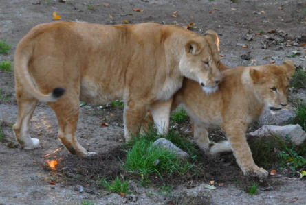 Some of the lions at Odense Zoo.