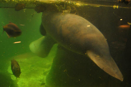 Sea cows and large fish swim together at Odense Zoo.