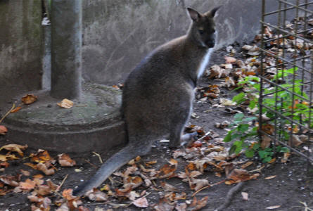 A small kangaroo at Odense Zoo.