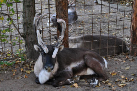 A reindeer at Odense Zoo.