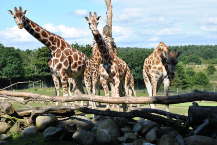 Some of the giraffes at Ree Park - Ebeltoft Zoo.