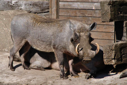 One of the powerful wild boar at Ree Park - Ebeltoft Zoo.