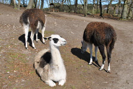 Some of the lamas at Ree Park - Ebeltoft Zoo.