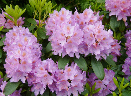 Some of the beautiful flowers on the many colourful rhododendron bushes in the Rhododendron Park in Brønderslev.