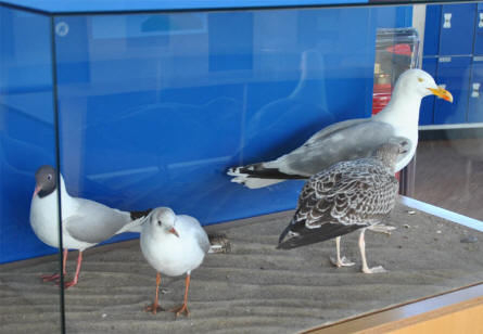 Some of the many Wadden Sea birds that are displayed at the Multimar Wattforum (Wadden Sea National Park) in T�nning.