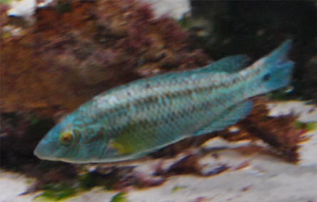 One of the more colourful fish displayed at the Multimar Wattforum (Wadden Sea National Park) in T�nning.