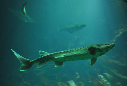 One of the many hug sturgeons displayed at the huge aquarium at the Multimar Wattforum (Wadden Sea National Park) in T�nning.
