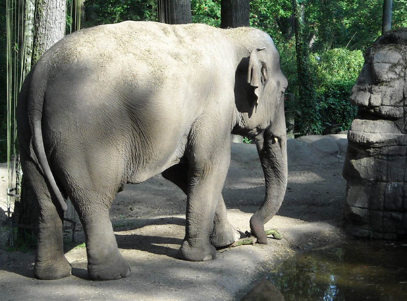 One of the elephants at Burgers' Zoo in Arnhem.